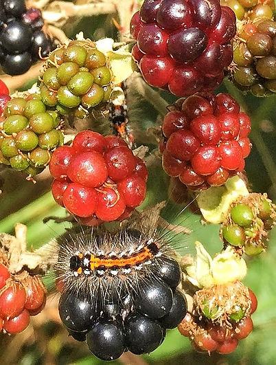 Catterpillar on Blackberry fruit.