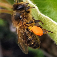 Bee loaded with Dandelion Pollen