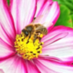 Honeybee on Cosmos
