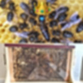 Queen and front of the Observation Hive