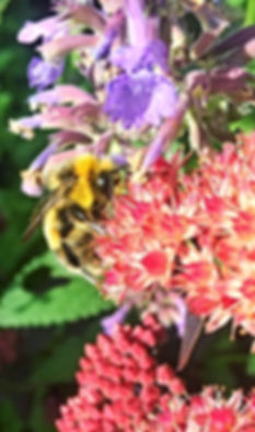 Bumble Carder on Sedum.JPG