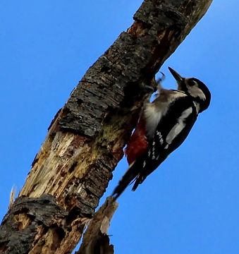 Great Spotted Woodpecker Dendrocopus major at Wildacres Nature Reserve