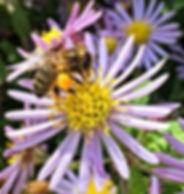 Bee on Aster in my Backgarden