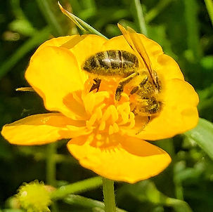 Honeybee covered in pollen on meadow Buttercup at Wildacres