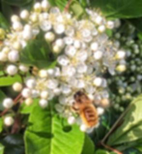 Red Mason Bee or Tawny Mining Bee perhaps on Pyracantha