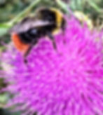 Red Tailed Bumblebee on Thistle.jpg
