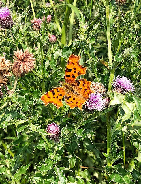 Comma butterfly on thistle flower