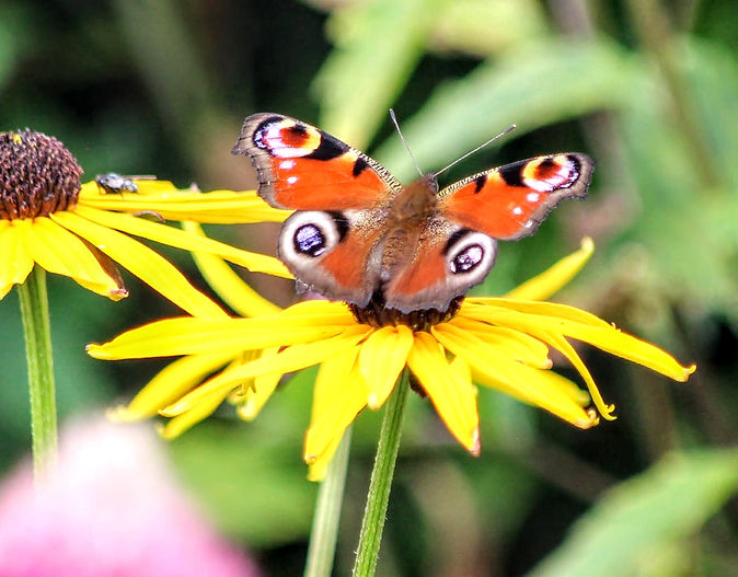 Peacock Butterfly on Rudbeckia flower