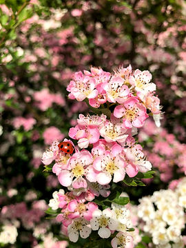 Beautiful Hawthorn flower at Wildacres Nature Reserve