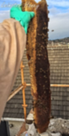 Swarm Colony, huge section of wax comb removed