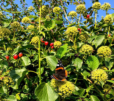 Ivy in flower with Rose Hips growing through and a  with a Red Admiral Butterfly