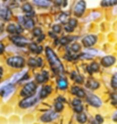 Queen Honeybee and her attendant workers.