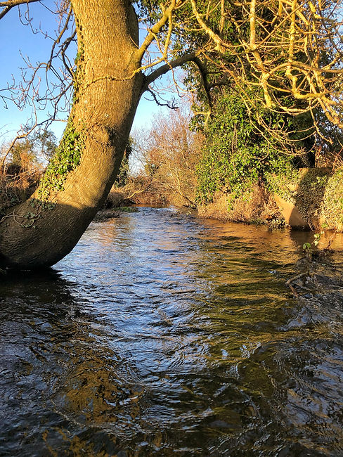 Ash tree growing on the riverbank