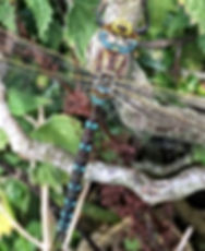 Common Hawker Dragonfly on L.H.F.