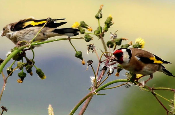 Goldfinches feeding on thistle seed.