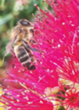 Honeybee on Bottlebrush