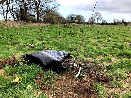 Planting native oaks at Wildacres