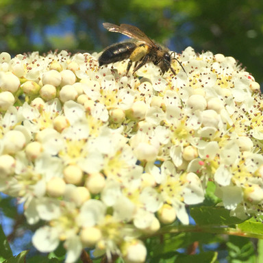 Solitary Bee on Sorbus Sp.