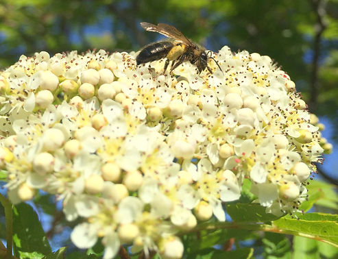 Solitary Bee on Sorbus aucuparia