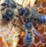 Honeybee with Orange Pollen