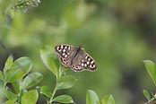 Speckled Wood Parargeaegeria