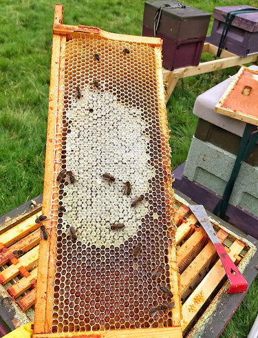 Partially Capped Frame of Irish Heather Honey