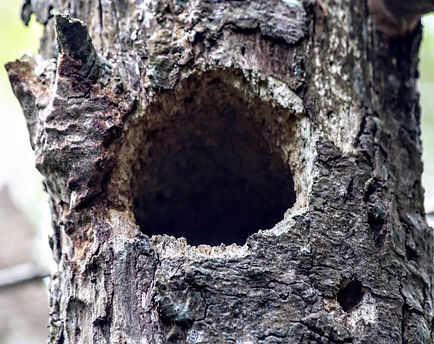 Great Spotted Woodpecker nesting hole in standing deadwood at Wildacres