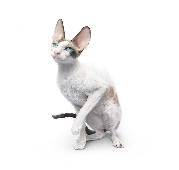 AGM, CornishRex