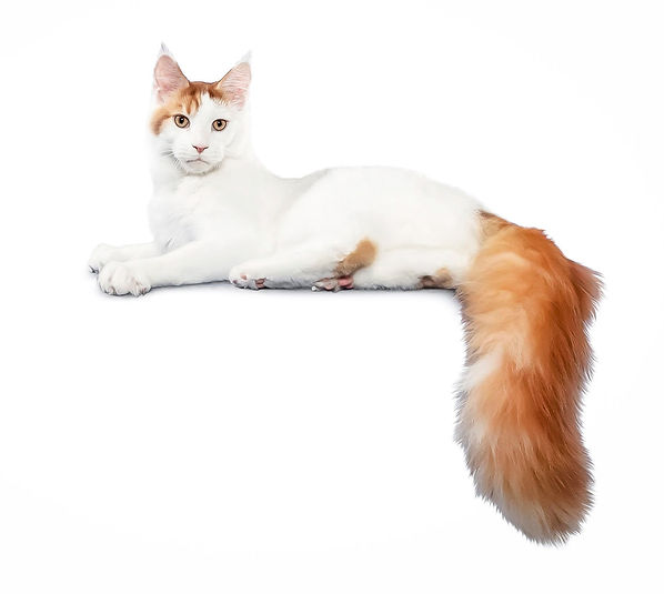AGM, Maine Coon