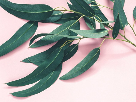 Oil of the Month - Eucalyptus