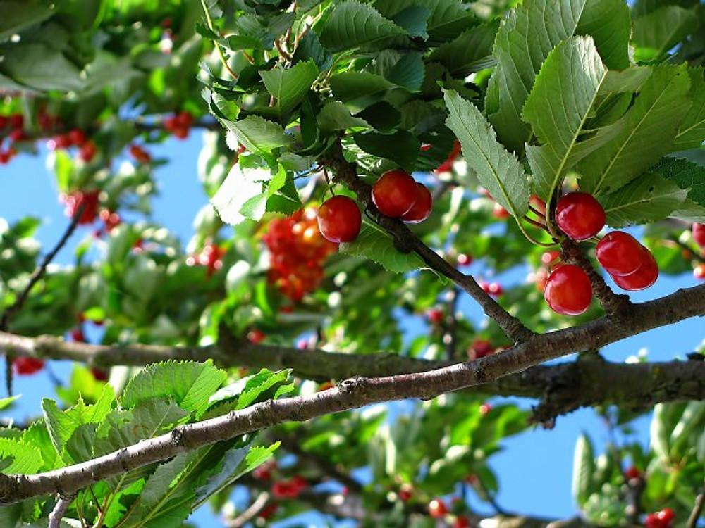 cherry-tree-fruit-nature-63312