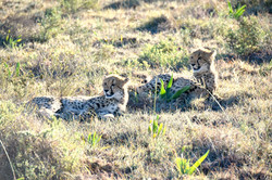 Safari game drive Amakhala cheetah family South Africa (3)