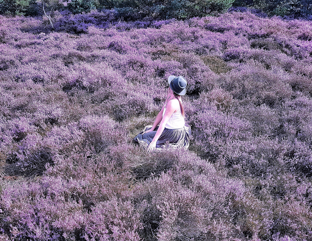 Purple heath of de Hoge Veluwe - the Netherlands