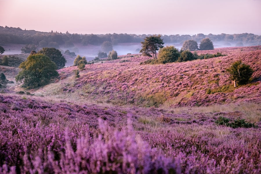 Purple heather of The Hoge Veluwe - the Netherlands