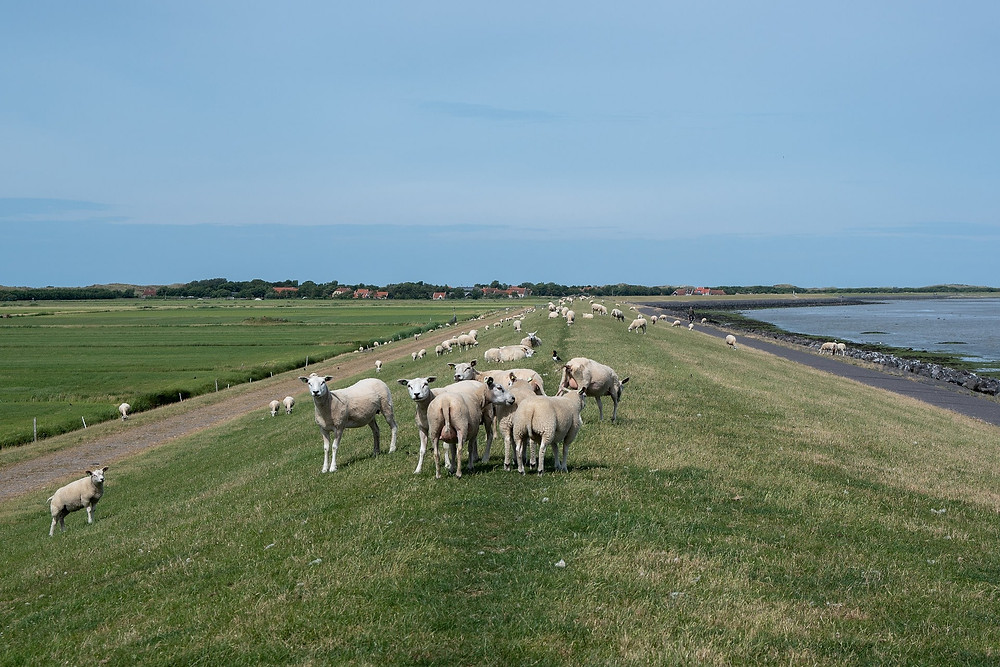Dike and sheep of WaddenEilanden - the Netherlands