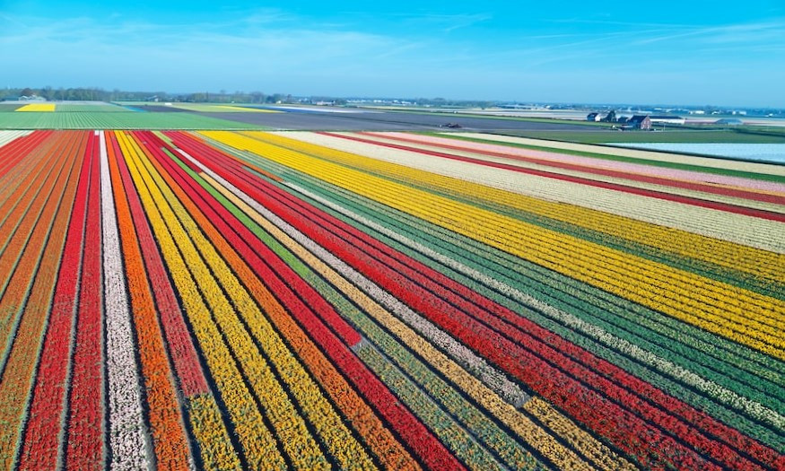Tulip fields Flevoland, the Netherlands