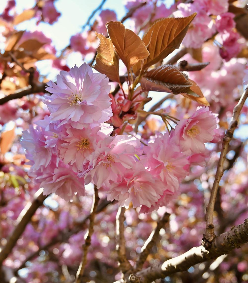 Blossom season the Netherlands