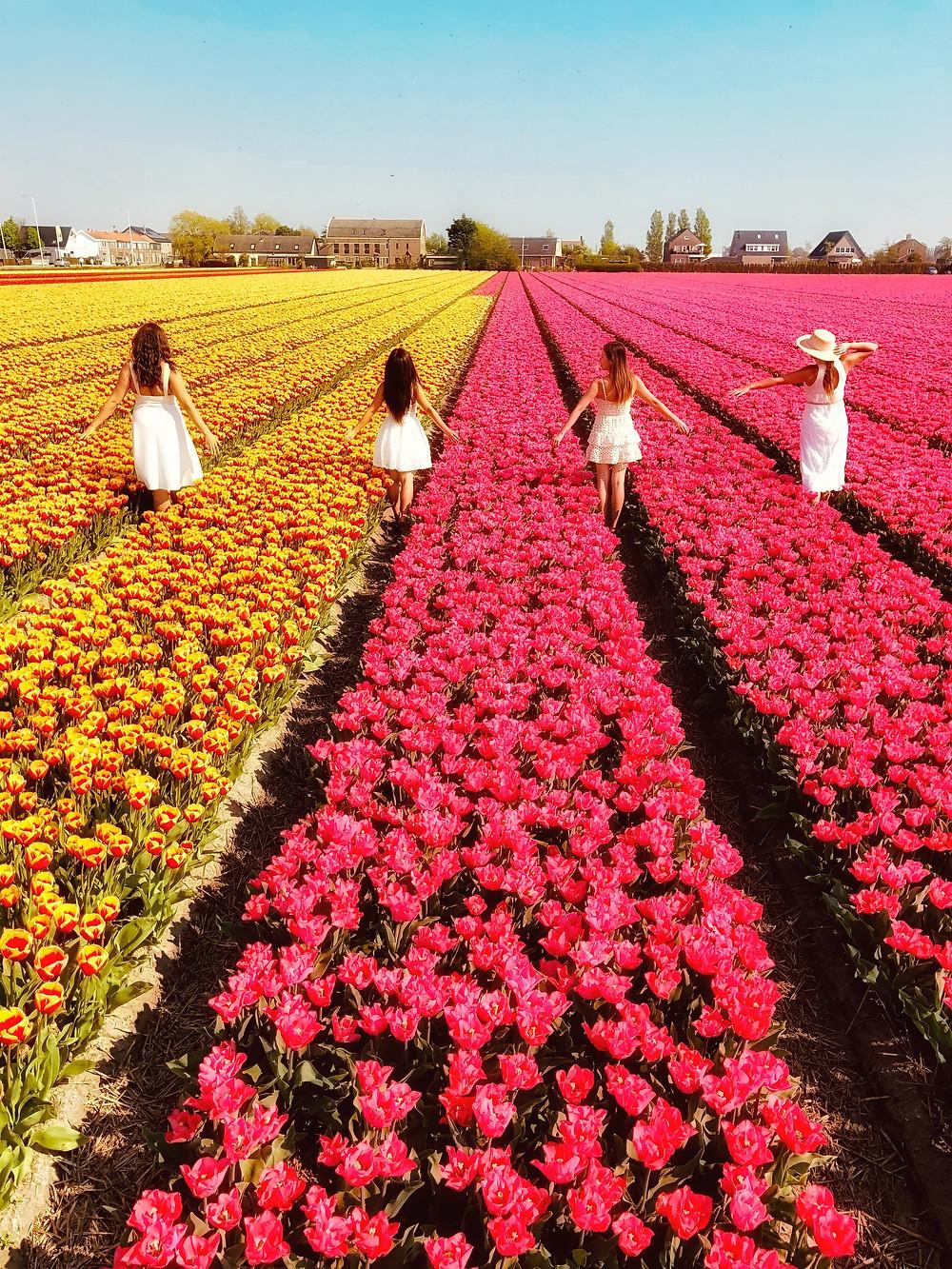 Tulip fields Hillegom, the Netherlands