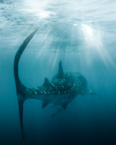 whale shark photo export 9-Edit.jpg