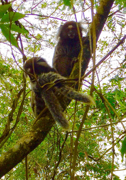 macaco tijuca_edited