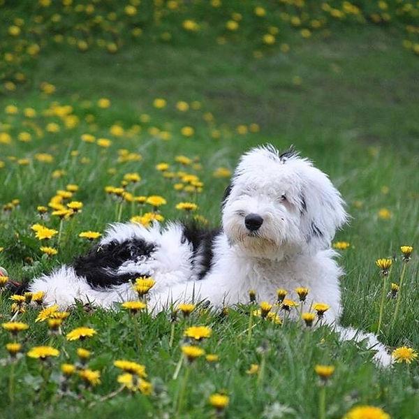 Sheepadoodle Puppies - Grace Wood Farm