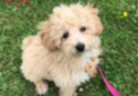 brown-poochon-dog-1024x718.jpg