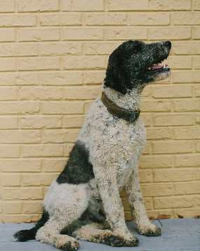 Standard Poodle - Grace Wood Farm