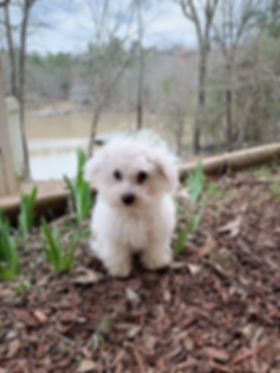 Poochon Bichpoo Puppies - Grace Wood Farm