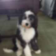 Sheepadoodle Puppies - Grace Wood Farm