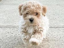 Poochon puppy.jpg
