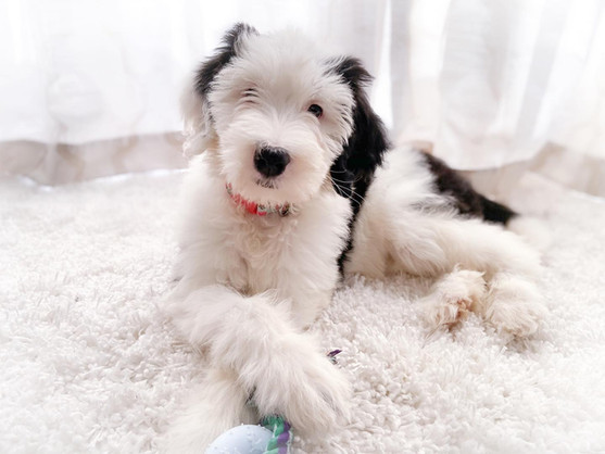 Sheepadoodle puppies