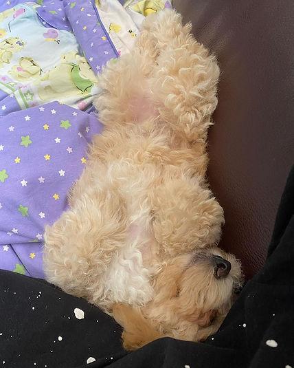 poochon_sleeping.jpg