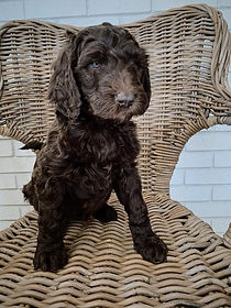 Goldendoodle Puppies - Grace Wood Farm