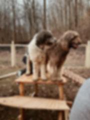 Goldendoodle Puppies - Grace Wood Farm